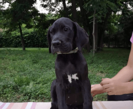 Xinthya - Great Dane Puppy for sale