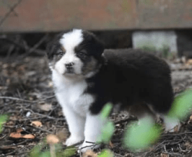 Indiana Jones - Australian Shepherd Puppy for sale
