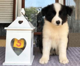 Espresso - Border Collie Puppy for sale