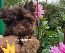 Pikachu Wici Bella Vera - Yorkshire Terrier Puppy for sale