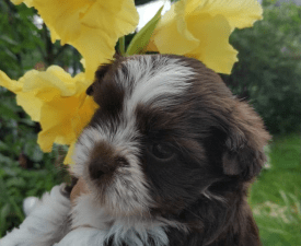 R-star Chocolate Assorted Bella Vera - Biewer Terrier Puppy for sale