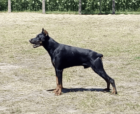 Tornádo - Dobermann Puppy for sale