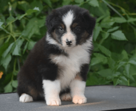 Iron Man - Australian Shepherd Puppy for sale