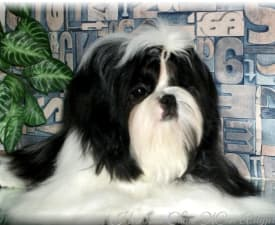 Zhan Amurchyk - Shih Tzu Puppy for sale