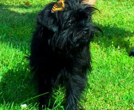 Yosya - Affenpinscher Puppy for sale