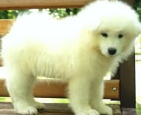 Bruto Wild West Gang - Samoyed Puppy for sale