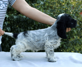 Darth Vader - English Cocker Spaniel Puppy for sale