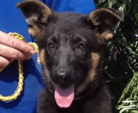 Huba - German Shepherd Dog Puppy for sale