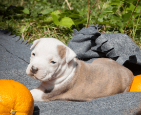 Staffisfaction Avalanche  - American Staffordshire Terrier Puppy for sale