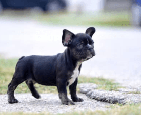 Bandit - French Bulldog Puppy for sale