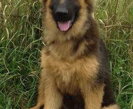 Pöttömke- Varick - German Shepherd Dog Puppy for sale