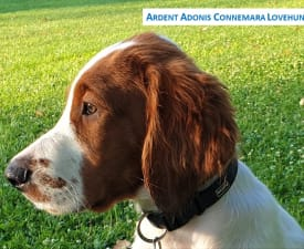 Ardent Adonis - Irish Red and White Setter Puppy for sale