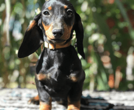 Bartha Vom House Tango - Dachshund Puppy for sale