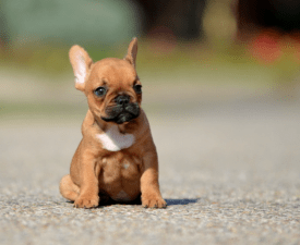 Dante - French Bulldog Puppy for sale