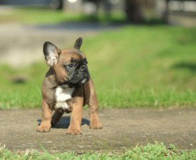 Donatella - French Bulldog Puppy for sale