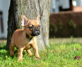 Dominika - French Bulldog Puppy for sale