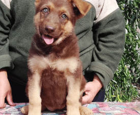 Bwich - German Shepherd Dog Puppy for sale