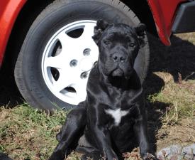 Angelo Rapace Nella Pelle Alisa - Cane Corso Italiano Puppy for sale