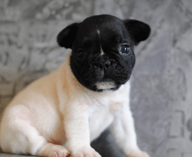 Happy - French Bulldog Puppy for sale