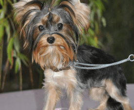 Mini Girl - Yorkshire Terrier Puppy for sale