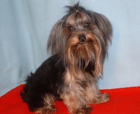 Mini Seeley - Yorkshire Terrier Puppy for sale