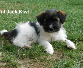 Joyful Jack Kiwi - Jack Russell Terrier Puppy for sale
