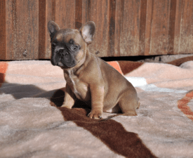 Diana - French Bulldog Puppy for sale