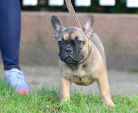 Alvin - French Bulldog Puppy for sale