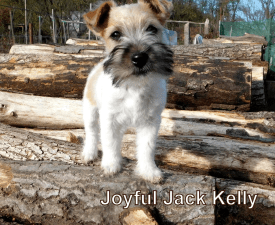 Joyful Jack Kelly - Jack Russell Terrier Puppy for sale
