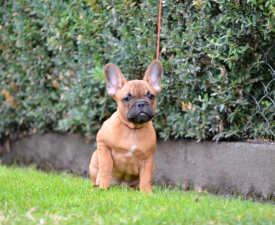 Dolóresz - French Bulldog Puppy for sale