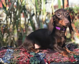 Bartha Vom House Unix - Dachshund Puppy for sale
