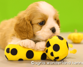 Agria Wonderland Frodo - Cavalier King Charles Spaniel Puppy for sale