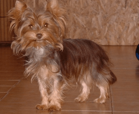 Choco Bonbon - Yorkshire Terrier Puppy for sale
