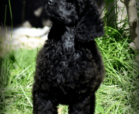 Ebony - Poodle Standard Puppy for sale