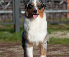 Fraytal Kassian Andor - Australian Shepherd Puppy for sale
