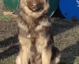 Buailles - Német juhászkutya eladó kiskutya