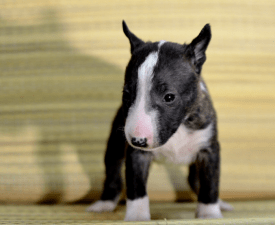 Carlos - Miniature Bullterrier Puppy for sale