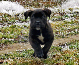 Rufus - Cane Corso Italiano Puppy for sale
