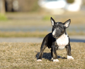 Christopher - Miniature Bullterrier Puppy for sale