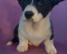 Parker - Welsh Corgi Cardigan Puppy for sale