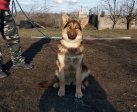 Bobadilla - German Shepherd Dog Puppy for sale