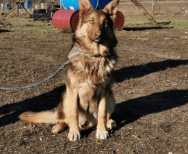 Buailles - German Shepherd Dog Puppy for sale