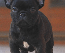 Thuglife Pablo - French Bulldog Puppy for sale
