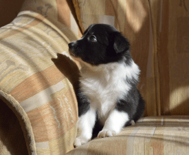 Lutri - Border Collie Puppy for sale