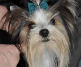 Giorgio - Biewer Terrier Puppy for sale