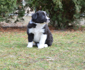 Leila - Border Collie Puppy for sale