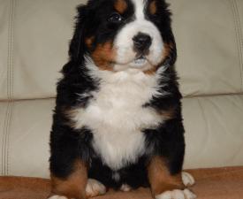 Silverado Berni Casper - Bernese Mountain Dog Puppy for sale