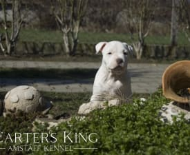 Carters King Absolut Elyx - American Staffordshire Terrier Puppy for sale
