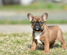 Hermione - French Bulldog Puppy for sale