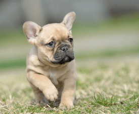 Hanna - French Bulldog Puppy for sale